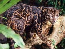 new_clouded_leopard.JPG