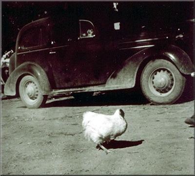 mike_headless_chicken