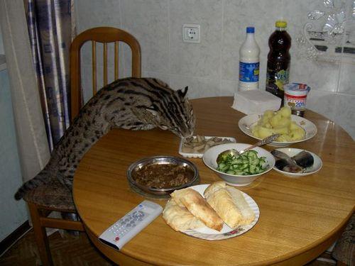 russian_housecat