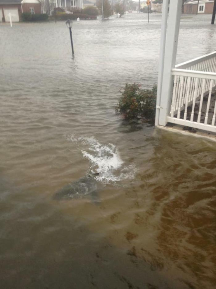 Hurricane Sandy Shark